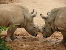 Rhinoceros locking horns stock photo