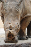 A rhinoceros looking at camera royalty free stock images