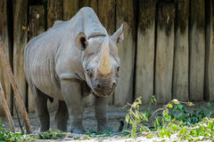 Rhinoceros looking at food. A big rhinoceros with a tall horn looking at its meal Royalty Free Stock Image