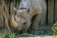 Rhinoceros looking at food. A big rhinoceros with a tall horn looking at its meal Stock Photos
