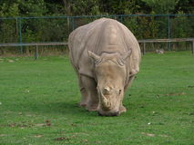 Rhinoceros looking mean Stock Photography