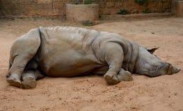 Rhinoceros. A rhinoceros is lying on the ground royalty free stock photo