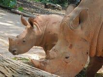 Rhinoceros - mammal Royalty Free Stock Images