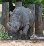 A rhinoceros Royalty Free Stock Photography