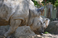 A rhinoceros Stock Images