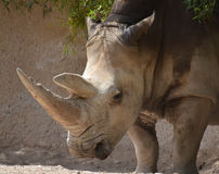 A rhinoceros. Meaning `nose horn`, often abbreviated to rhino, is one of any five extant species of odd-toed ungulates in the family Rhinocerotidae Royalty Free Stock Photography
