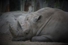 A rhinoceros. Meaning `nose horn`, often abbreviated to rhino, is one of any five extant species of odd-toed ungulates in the family Rhinocerotidae Stock Photo