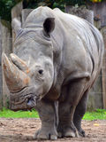 A rhinoceros. Meaning `nose horn`, often abbreviated to rhino, is one of any five extant species of odd-toed ungulates in the family Rhinocerotidae Stock Photos