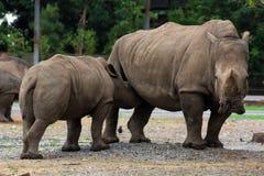 Rhinoceros mother Stock Photo