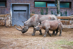 Rhinoceros Mother and Child. Photo of a rhinoceros family walking beside each other Royalty Free Stock Images