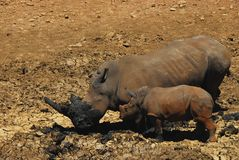 Africa- A Mother Rhino Showing Calf How to Dig a Mud Bath stock image
