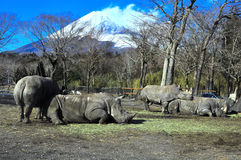 Rhinoceros at mount fuji safari. A group of rhinos bonding with each other in Fuji Safari park. One of the rhino is standing while closing its eyes such that its Stock Image