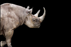 Rhinoceros on the Move Stock Image