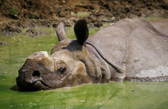 Rhinoceros in the mud. Indian rhinoceros soaking in the mud stock images