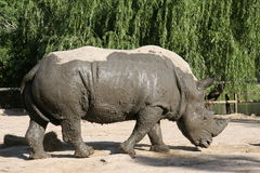 Rhinoceros after mud bath Stock Photography