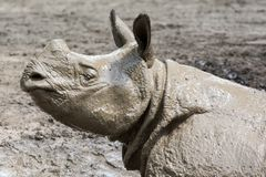 Rhinoceros after a mud bath. A Rhinoceros covered wet mud after a bath royalty free stock image