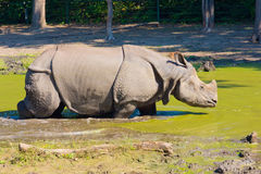 Rhinoceros in the mud Royalty Free Stock Images
