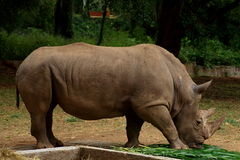 Rhinoceros in Mysore zoo Royalty Free Stock Photos