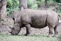 Rhinoceros at Mysore zoo (India) Stock Photography