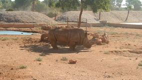 rhinoceros in national park safari stock video