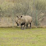 Rhinoceros near the fence at a game park. An adult rhinoceros stands near game park fence during the day Stock Image