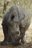 Rhinoceros noses ground Royalty Free Stock Photography