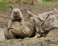 Rhinoceros. Often abbreviated as rhino, Playing in the mud, mother and baby royalty free stock photos