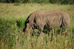 Rhinoceros Royalty Free Stock Image