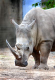 Rhinoceros Portrait Stock Photography