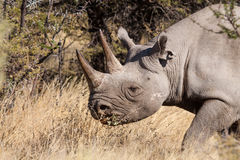 Rhinoceros portrait Stock Photography
