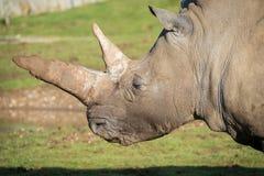 Rhinoceros portrait. Huge horns seen against grass Stock Photo