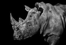 Rhinoceros portrait. A monochrome portrait of a rhinoceros on a black background stock images