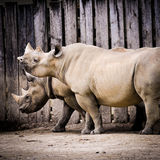 Rhinoceros. Portrait of rhino mother and baby Royalty Free Stock Photography