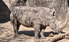 A Rhinoceros in Position. A Rhinoceros striking a pose at a local Zoo Royalty Free Stock Image