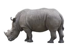 Rhinoceros isolated over white. Rhinoceros in profile isolated over white background stock photo