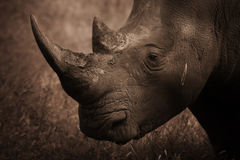 Rhinoceros Profile, Sepia. Rhinoceros portrait in sepia tones Royalty Free Stock Photo