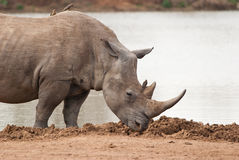 Rhinoceros profile Royalty Free Stock Photo