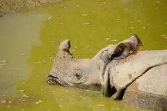 Rhinoceros relaxing in water Royalty Free Stock Photos