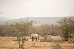 Rhinoceros at rest Royalty Free Stock Images
