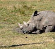 Rhinoceros at animal reserve  Stock Photos