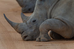 Rhinoceros Resting Stock Photo