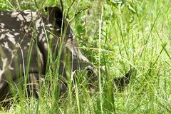 Rhinoceros resting in the grass. A close up of a rhino resting in the grass of Ziwa Rhino Sanctuary in Uganda royalty free stock images