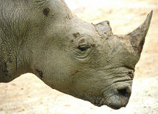 Rhinoceros or rhino Stock Photos