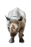 Rhinoceros. A rhino isolated on white. Clipping path included Stock Photography