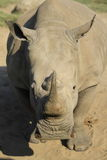 Rhinoceros. A Rhino looking at you Stock Image