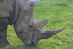 Rhinoceros, rhino, Rhinocerotidae, grazing. Stock Photography