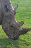 Rhinoceros, rhino, Rhinocerotidae, grazing. Royalty Free Stock Photography