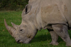 Rhinoceros, rhino, Rhinocerotidae, grazing. Stock Photo