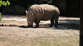 Rhinoceros (rhino) sniffing ground,  a group of five extant species of odd-toed ungulates, side view, stock video