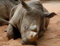 Rhinoceros. A rhinoceros is lying on the ground stock photos